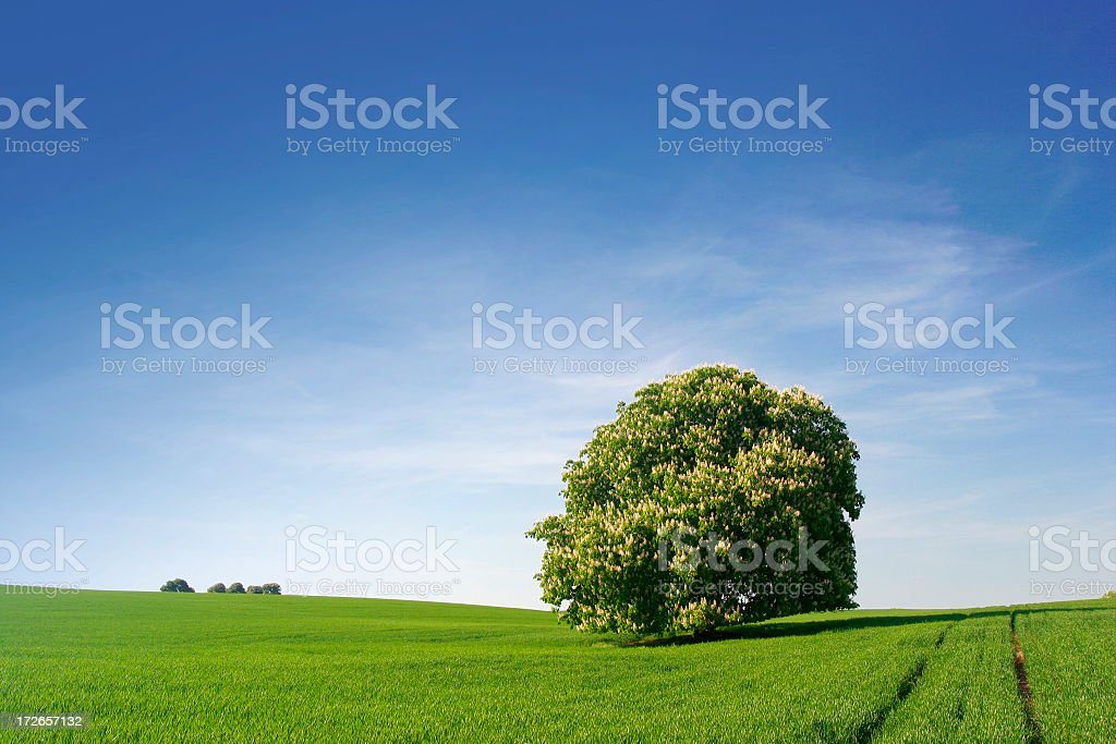 Mighty Chestnut  Tree Blossoming in Spring Fields royalty-free stock photo