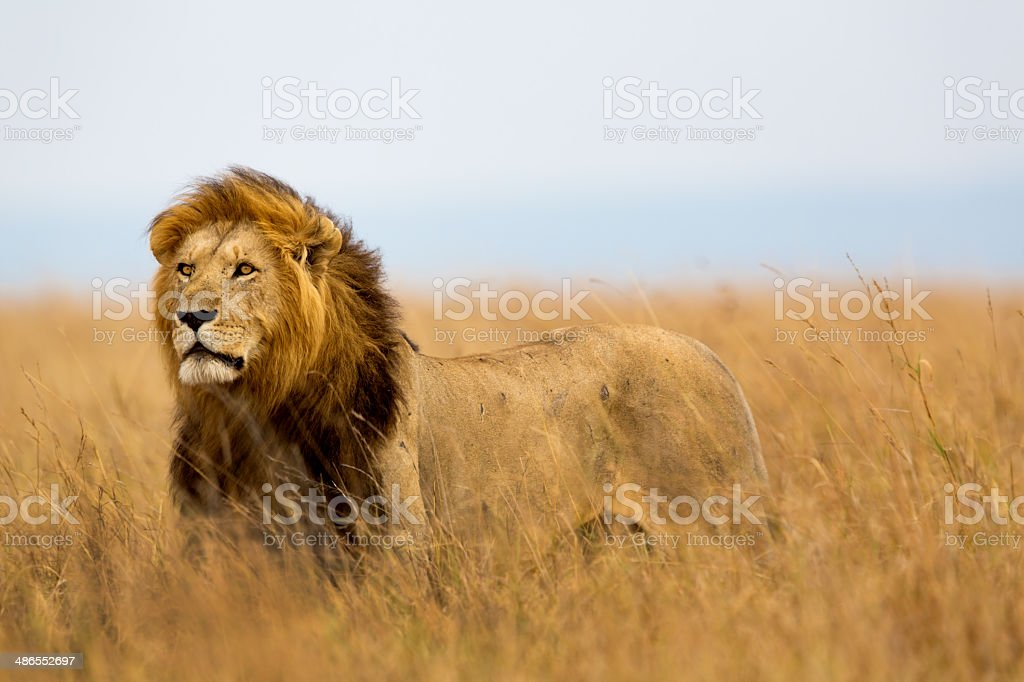 Mighty Lion watching the lionesses stock photo