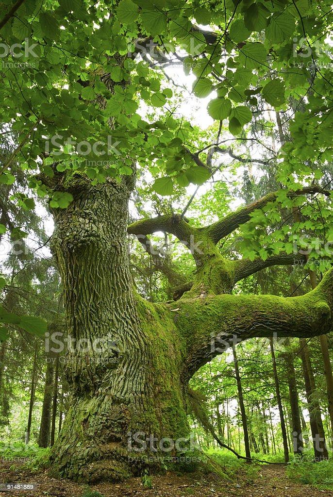 Mighty oak. royalty-free stock photo