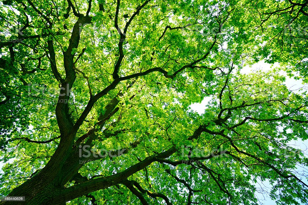 Mighty Oak Tree from below stock photo