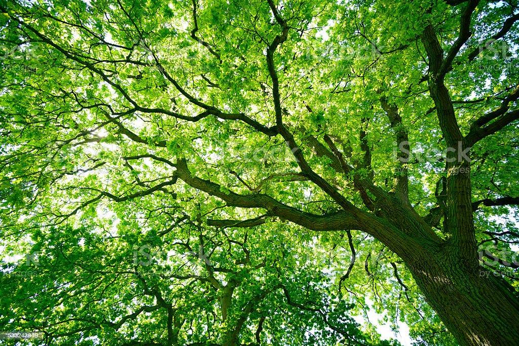 Mighty Oak Tree from below stock photo