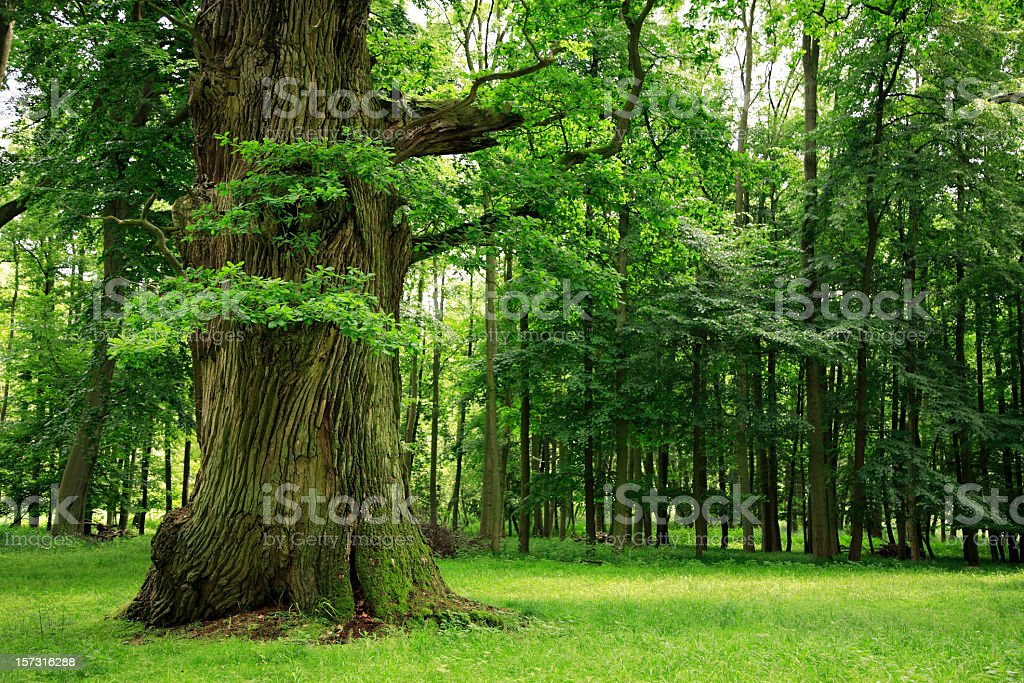 Mighty Oak Tree on Clearing in Deciduous Forest stock photo