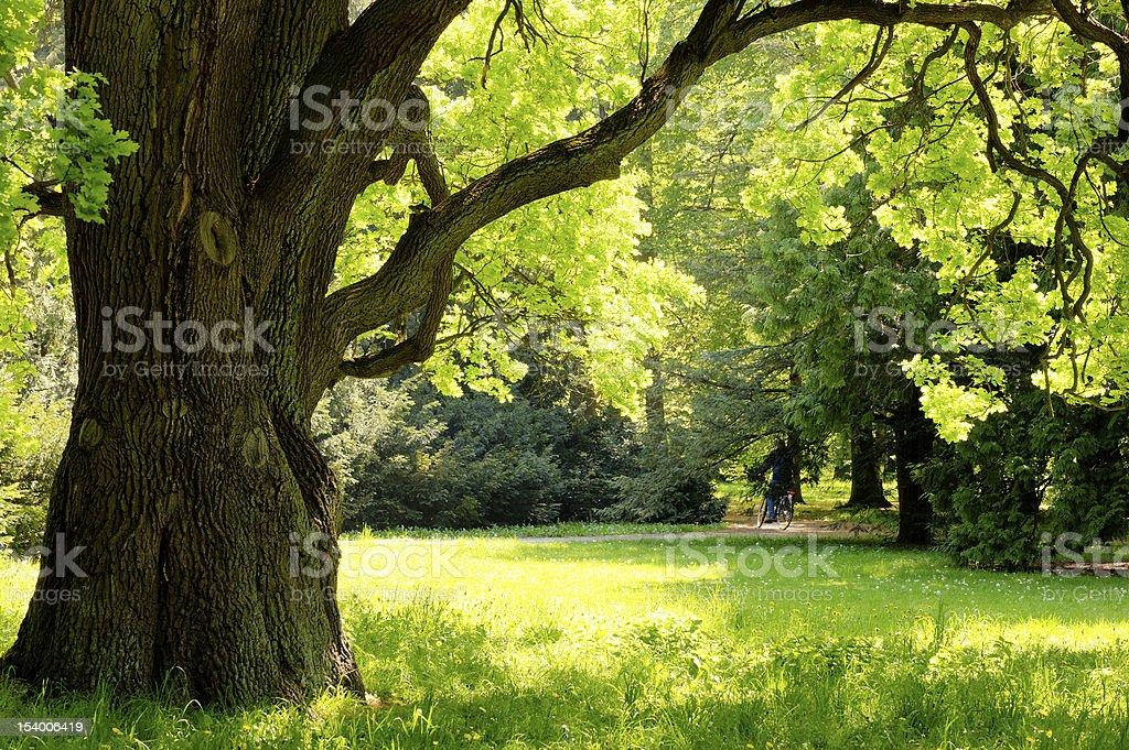 Mighty oak tree stock photo