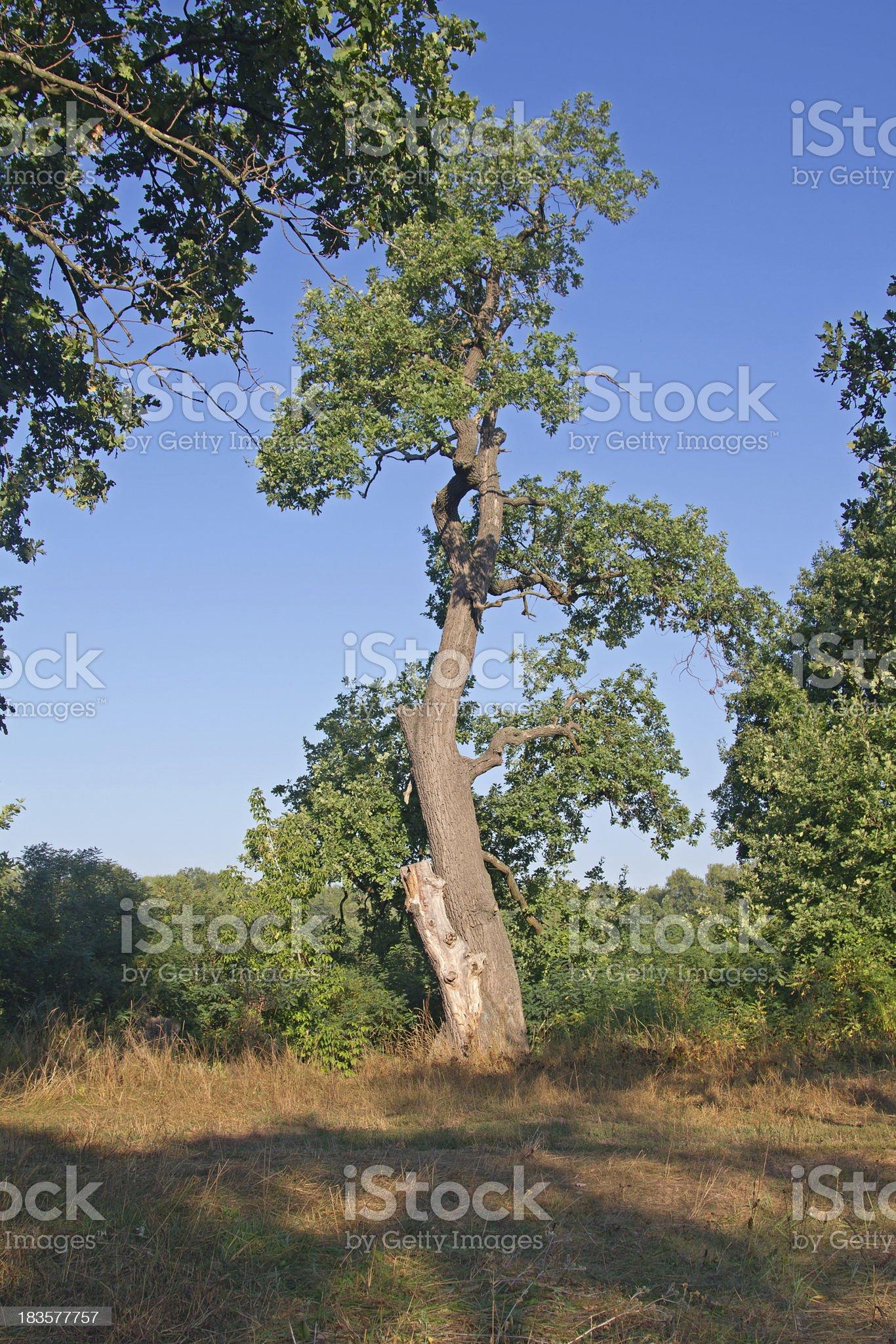 Mighty Oak Tree royalty-free stock photo