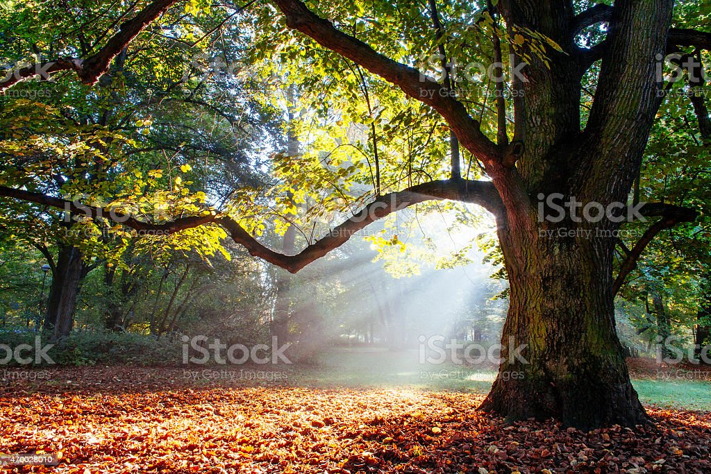 mighty oak tree stock photo