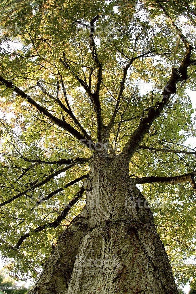 Mighty Poplar Tree royalty-free stock photo