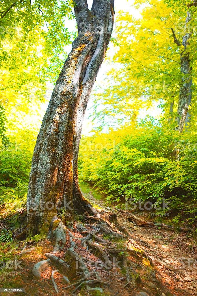Mighty tree trunk with huge rhizome. stock photo