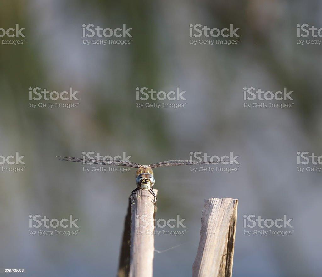 Migrant Hawker Dragonfly (Aeshna mixta) Male stock photo