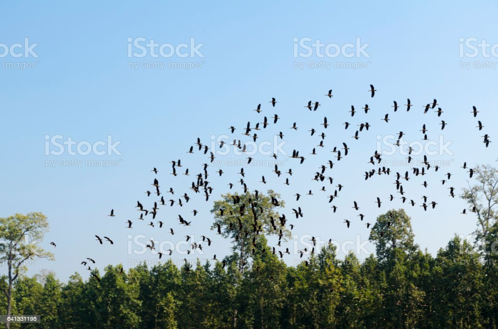 Migrating birds flying stock photo