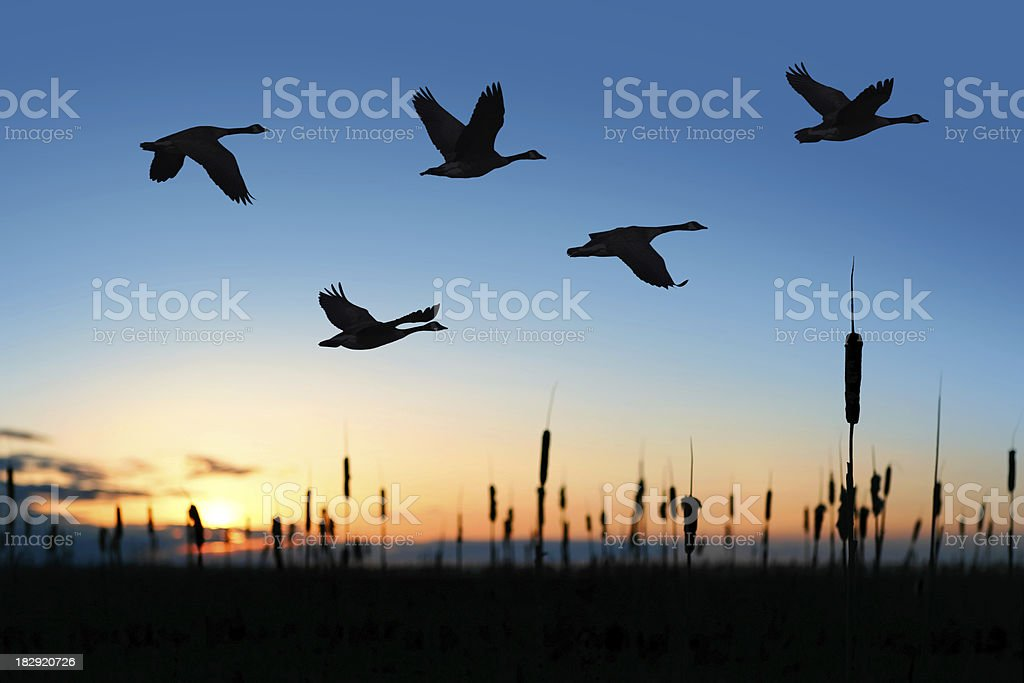 XXL migrating canada geese at sunset stock photo