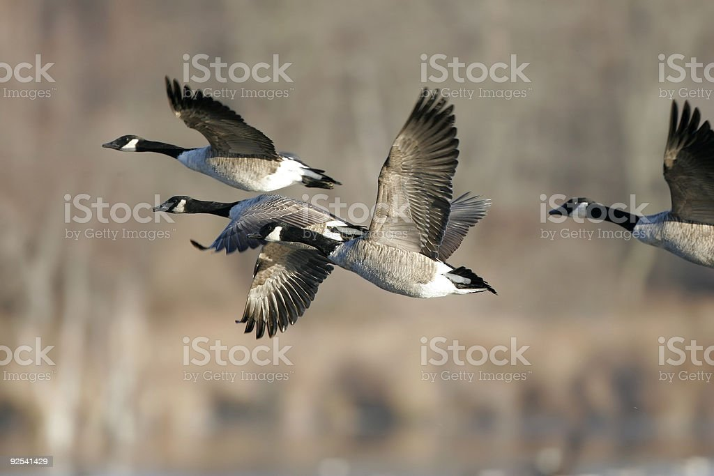 Migrating Canada Geese in Flight stock photo