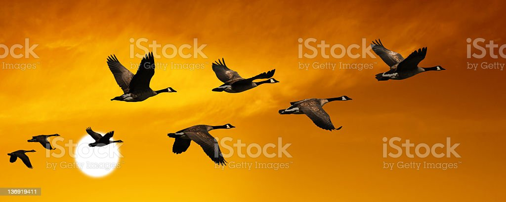 XL migrating canada geese royalty-free stock photo