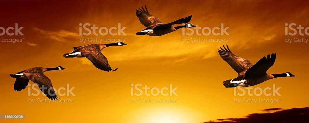 XL migrating canada geese stock photo