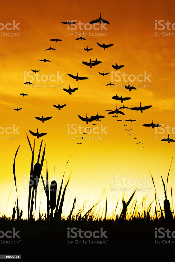 XXXL migrating canada geese royalty-free stock photo
