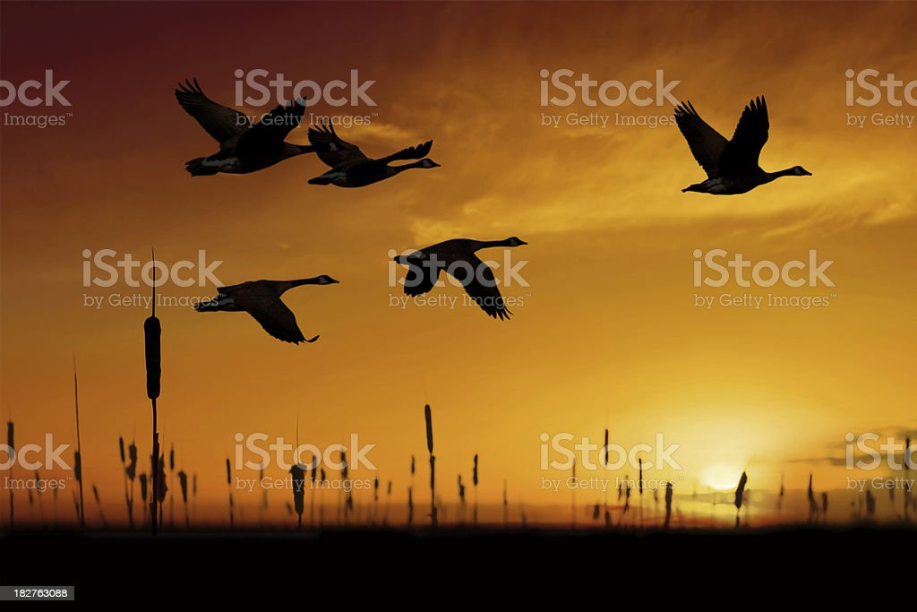 XXL migrating canada geese stock photo