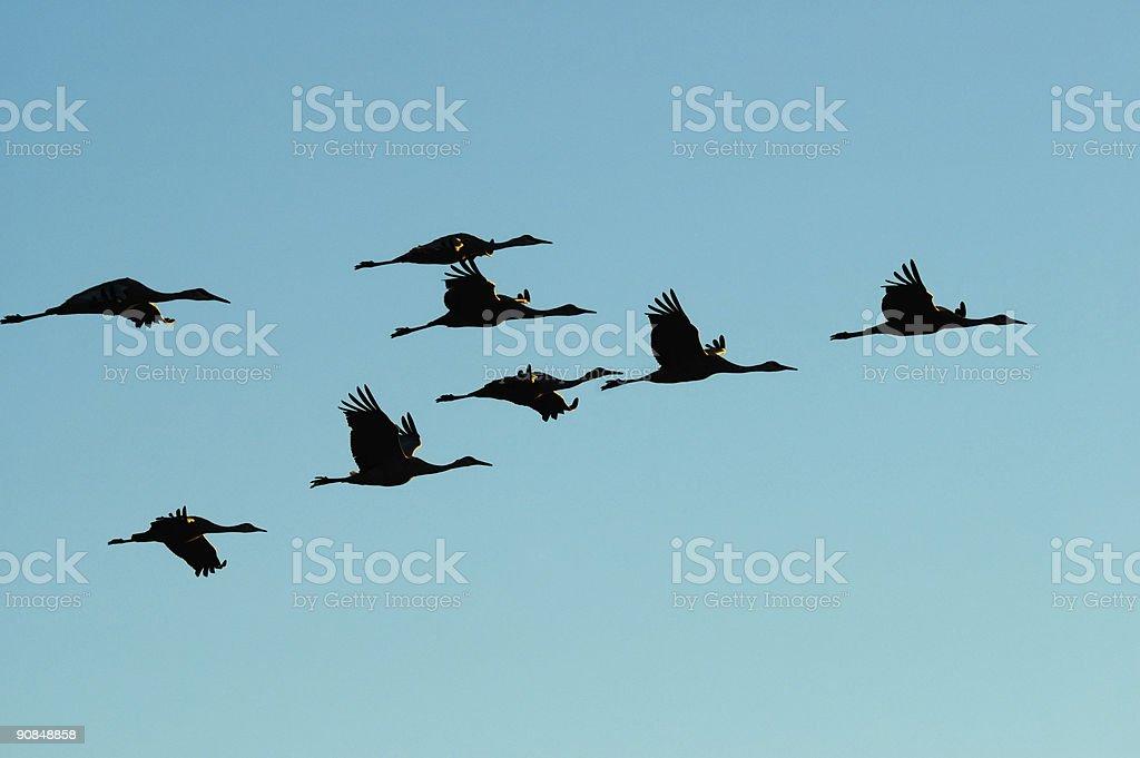 Migrating cranes stock photo