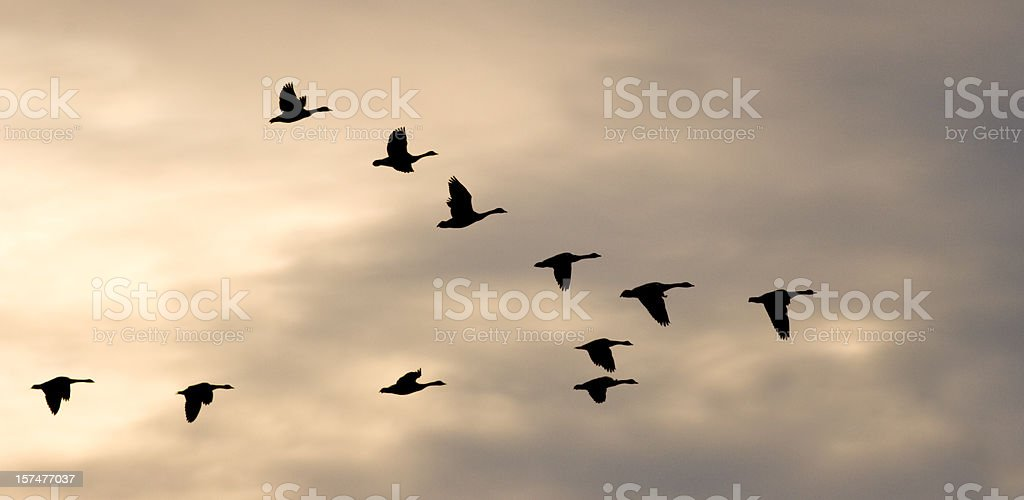 Migrating Flock and Winter Sky stock photo