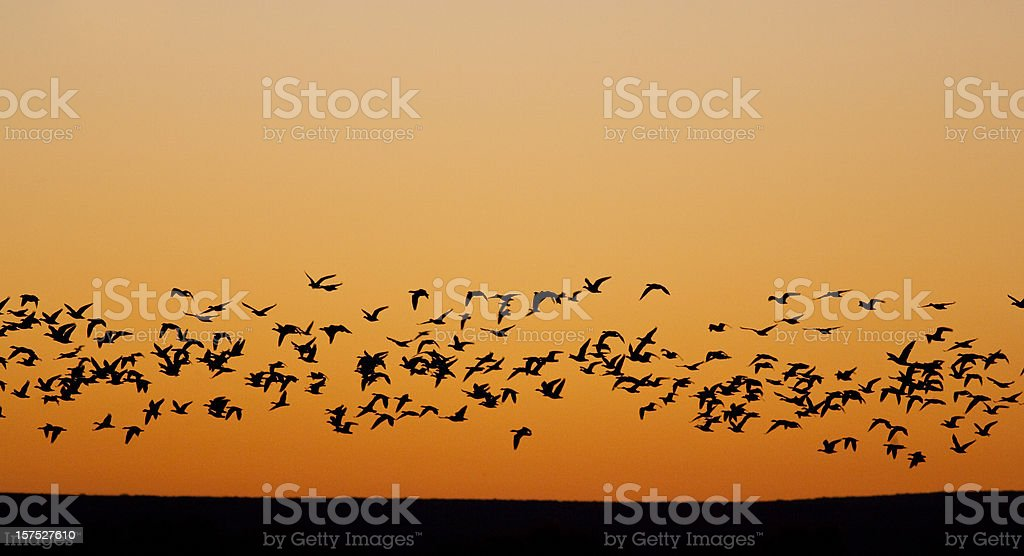 Migrating Flock of Birds stock photo