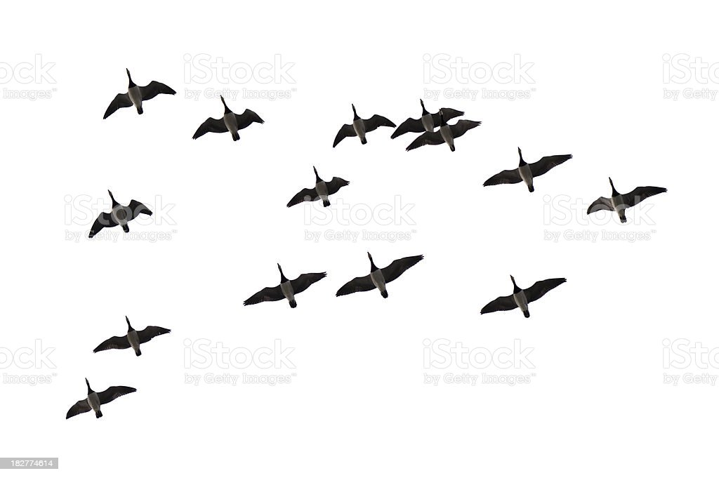 Migrating geese on white royalty-free stock photo