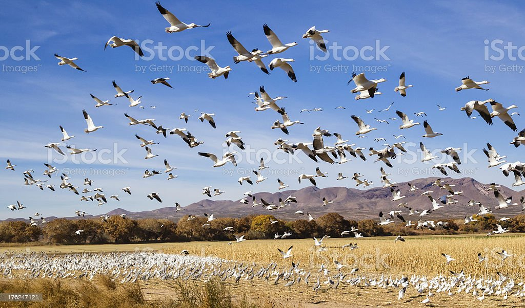 Migrating Geese royalty-free stock photo
