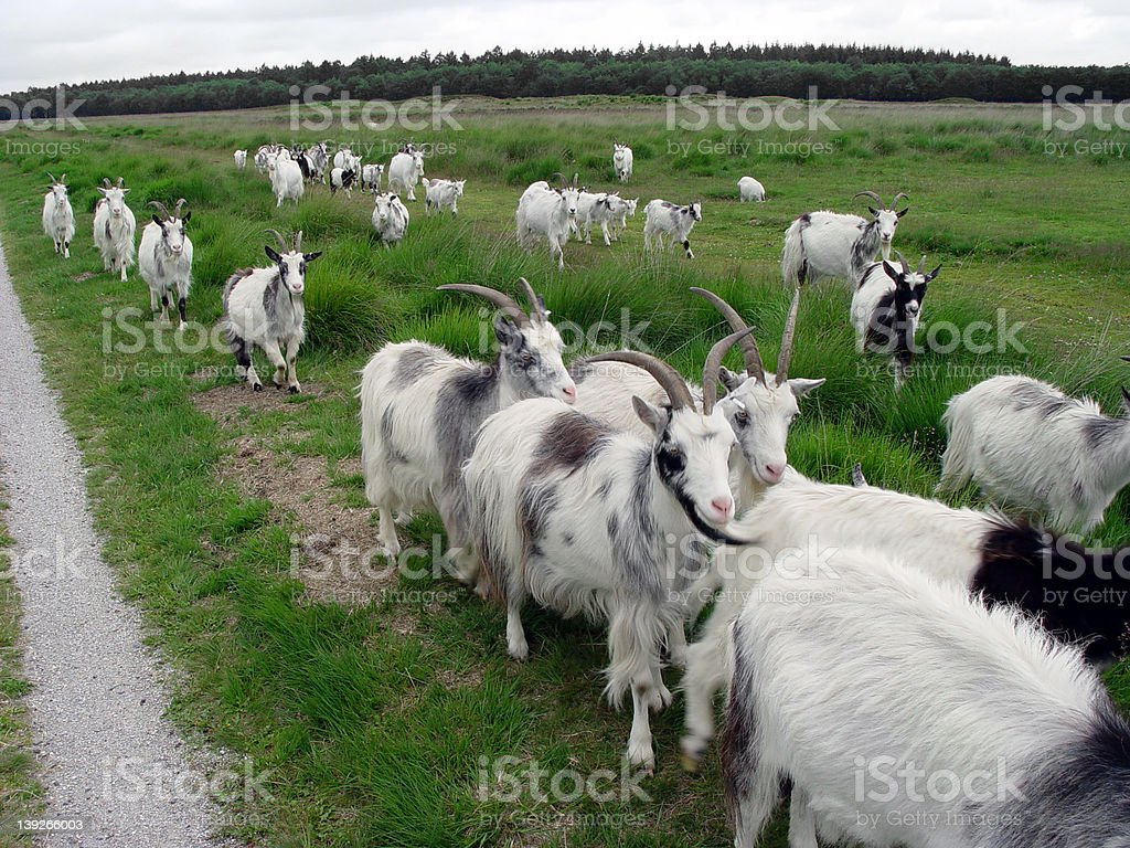 Migrating Goats. royalty-free stock photo