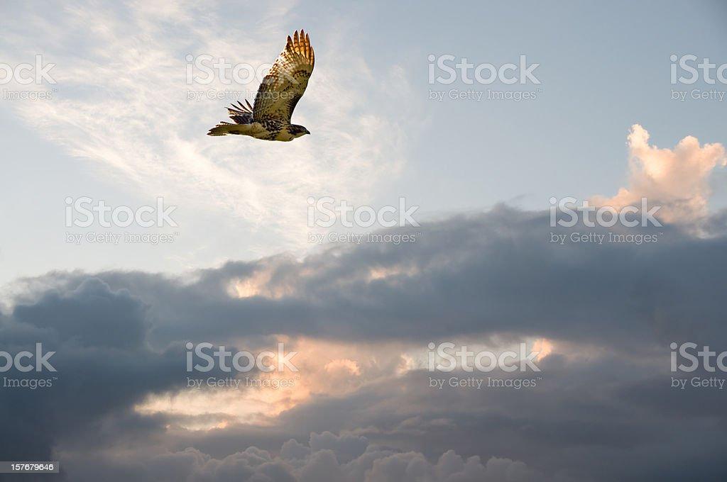 Migrating Hawk stock photo