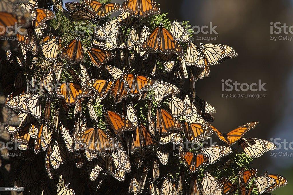 Migrating Monarch butterflies in Monterey Bay California horizontal stock photo