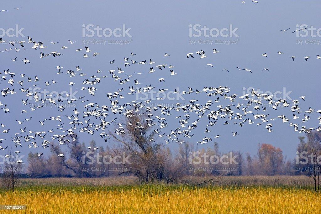 Migrating Snow Geese in Sacramento Valley National Wildlife Refu stock photo