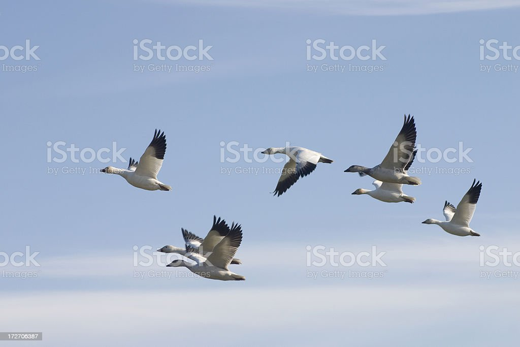 Migrating Snow geese stock photo