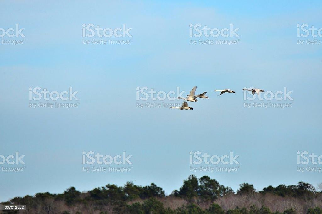 Migrating Tundra Swan stock photo