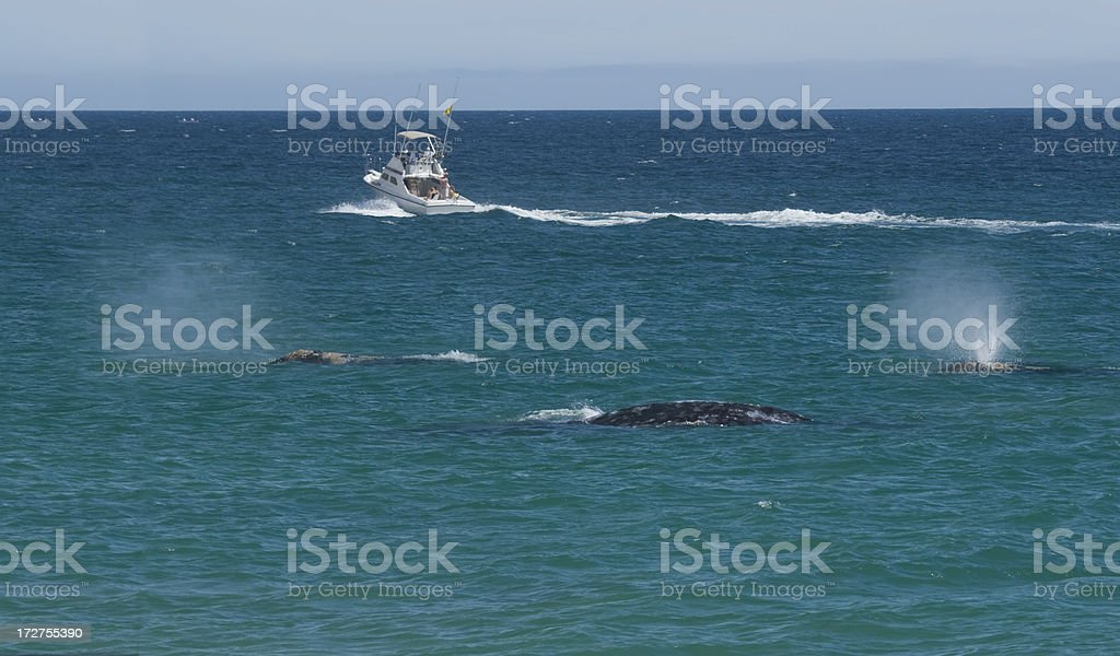 Migrating Whales & Fishing Boat stock photo