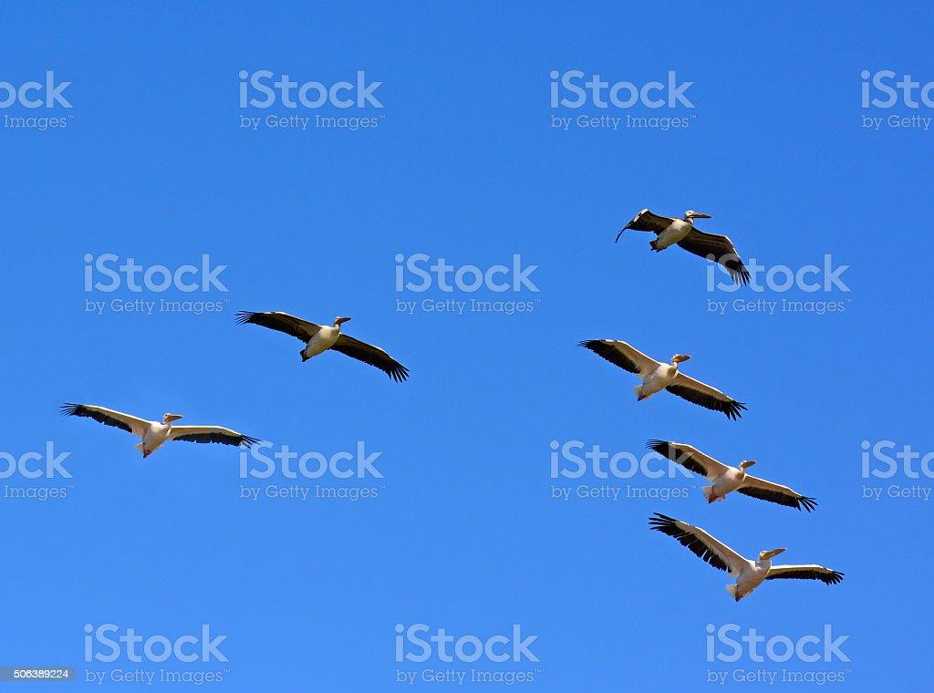 Migration flight, Pelicans in V shape formation stock photo