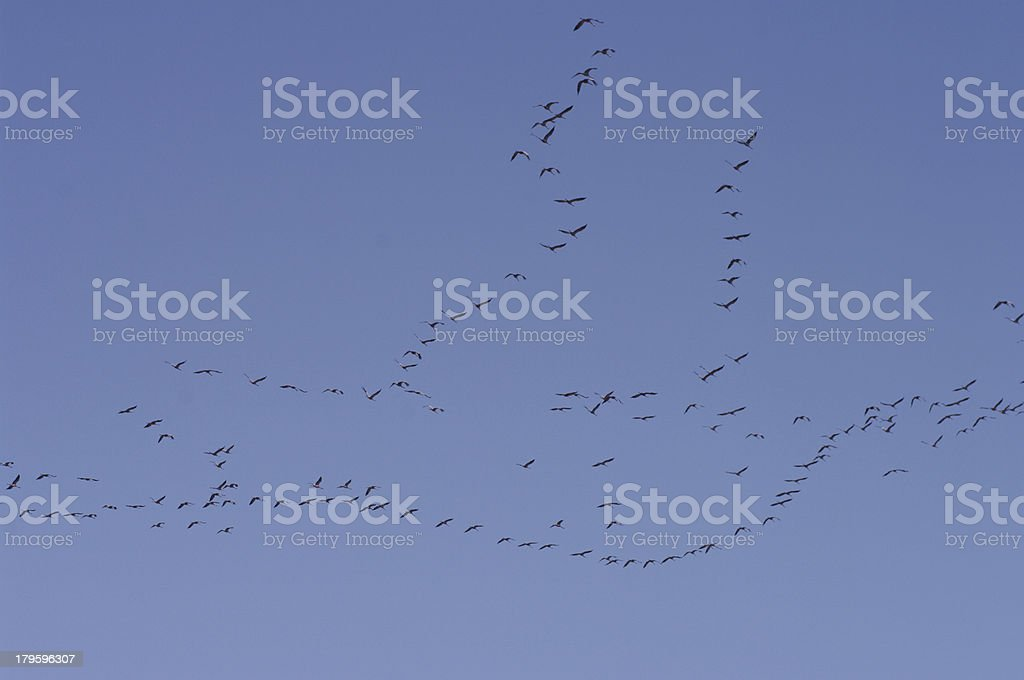Migration of Crane birds stock photo