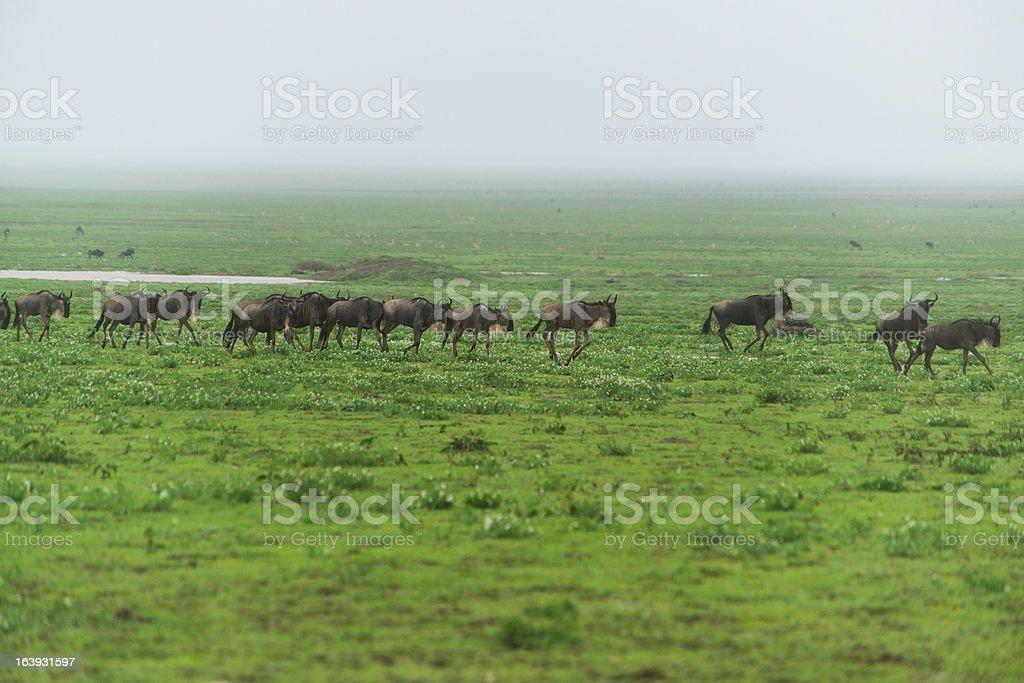 Migration of gnus royalty-free stock photo