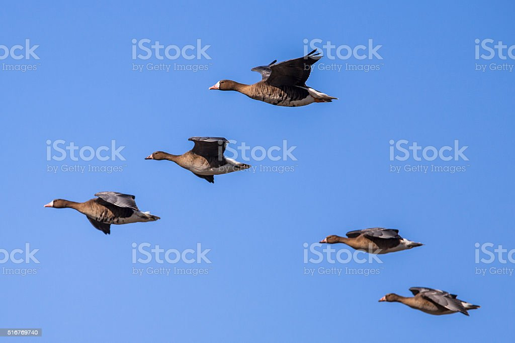 Migratory Geese setting in for Landing. stock photo