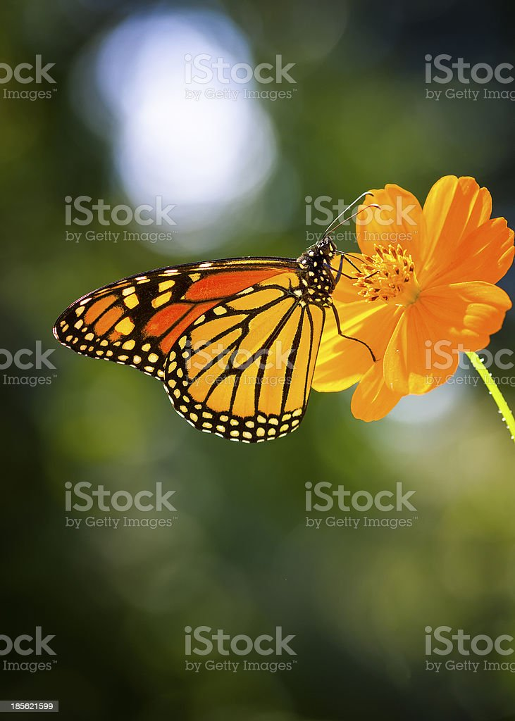 Migratory Monarch Butterfly royalty-free stock photo