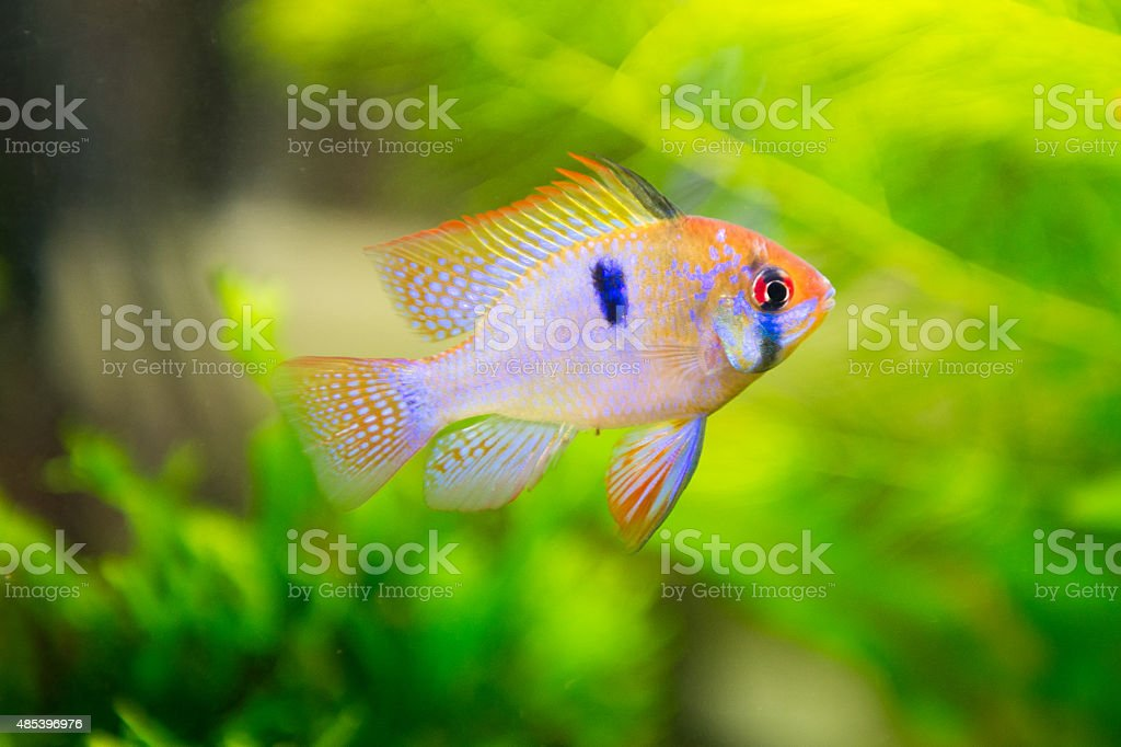 Mikrogeophagus ramirezi, ram cichlid,male stock photo