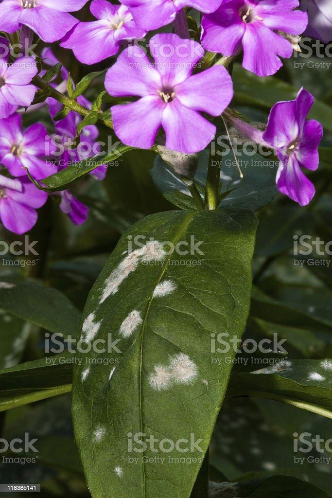 mildew on phlox stock photo