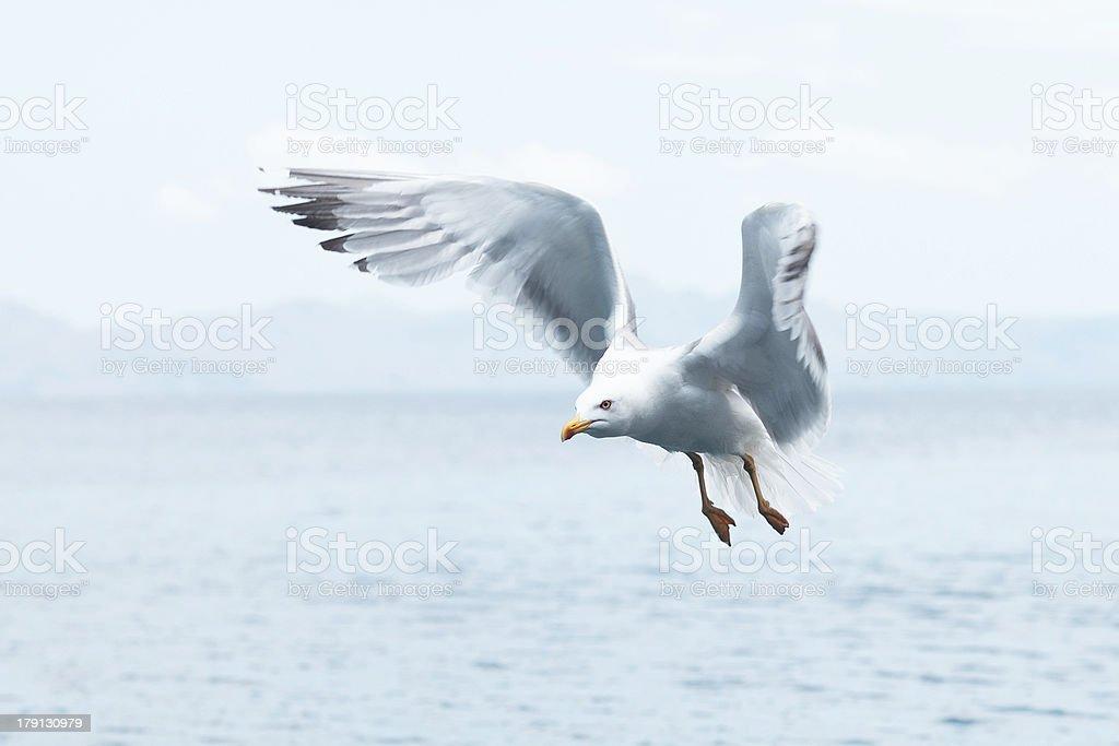 Militant Seagull royalty-free stock photo