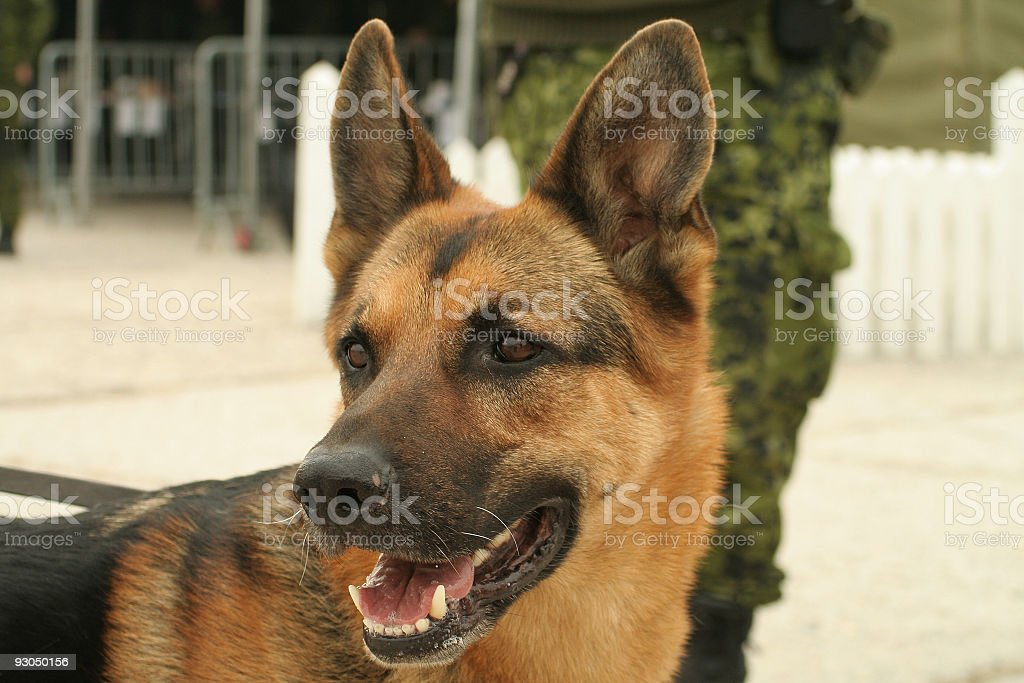 Military guard dog stock photo