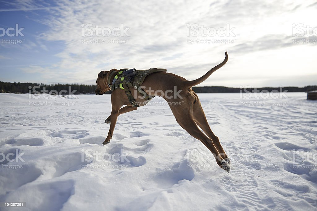 Military K9 dog in pursuit on snow stock photo