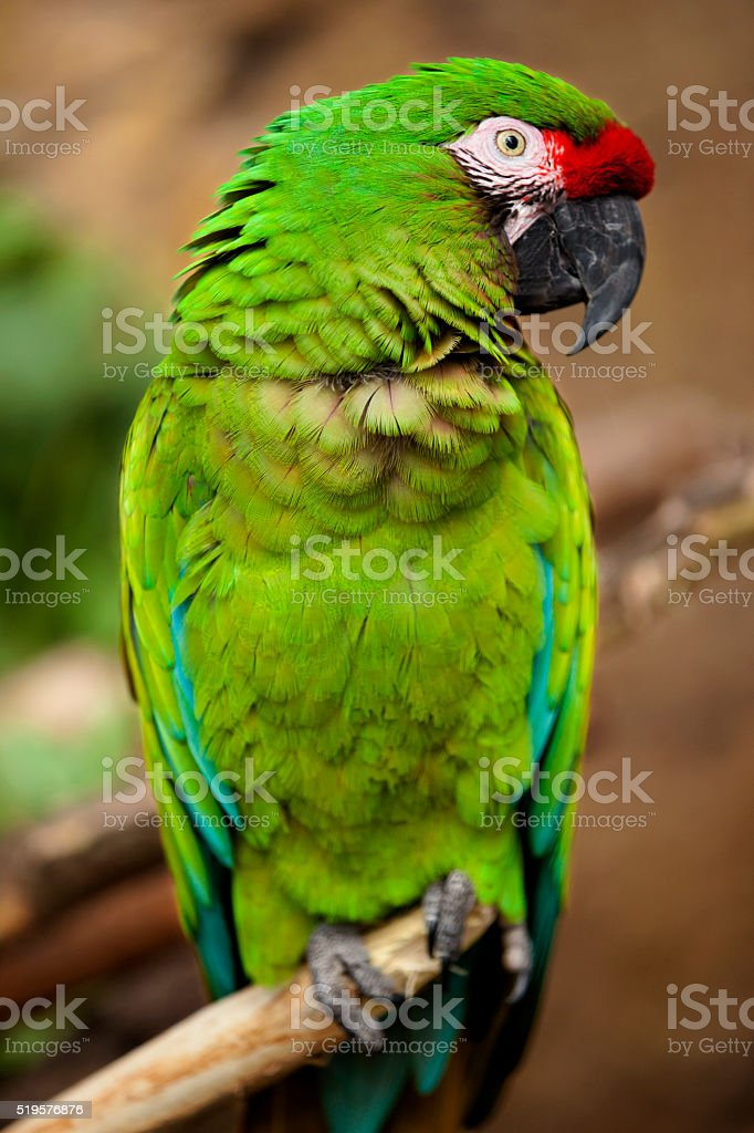 Military Macaw (Ara militaris) stock photo