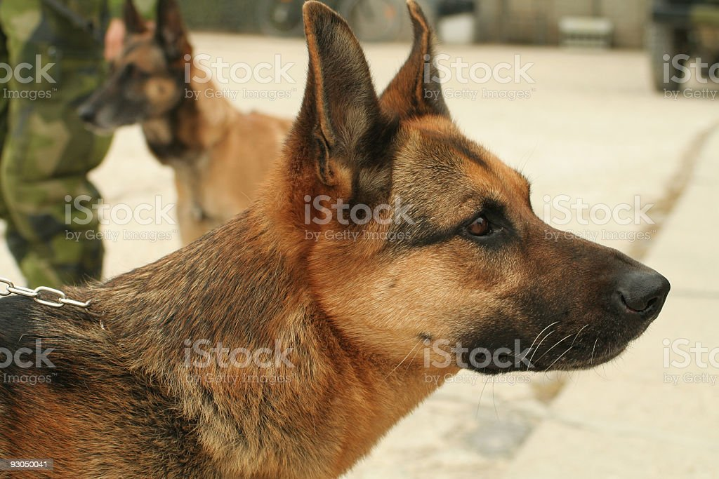 Military watch dog stock photo