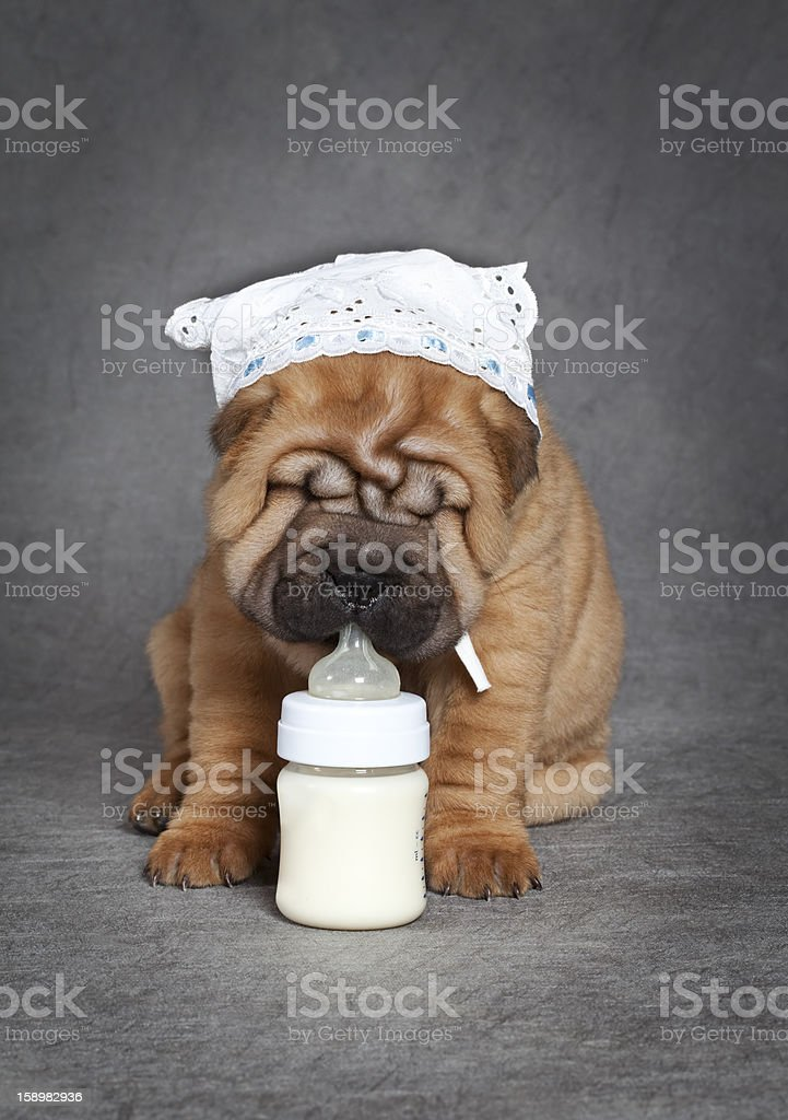 milk and puppy royalty-free stock photo