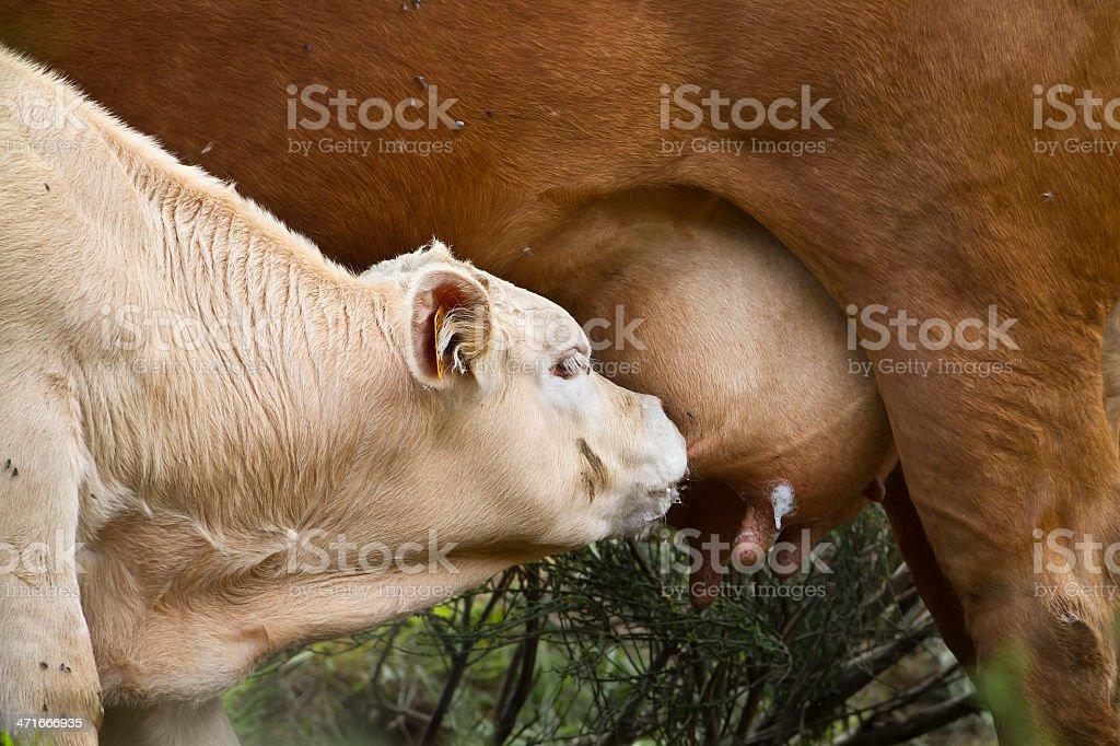 Milk calf sucking the udder's cow stock photo