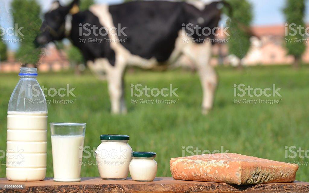 Milk cheese cow. stock photo
