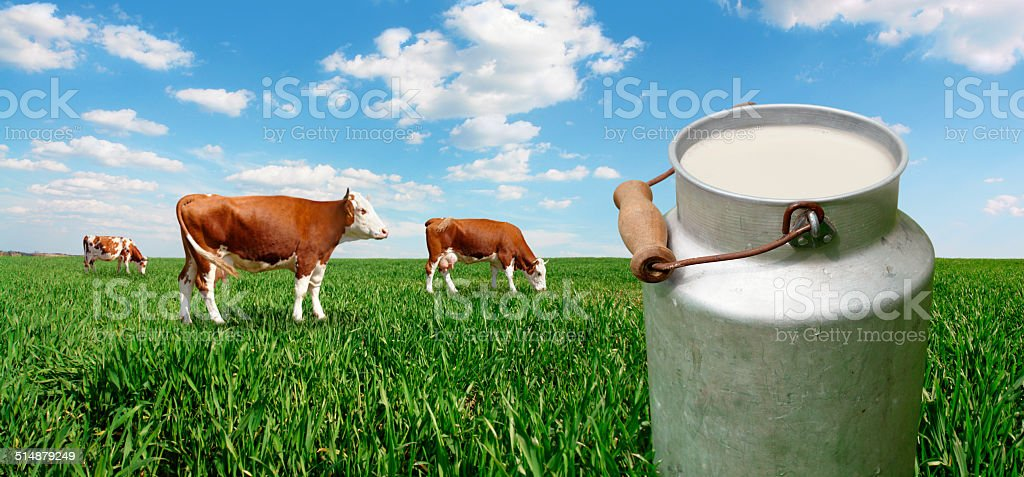 Milk container and cows on the green field stock photo