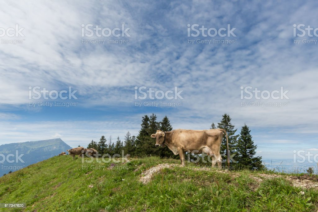 milk cow in meadow field switzerland with mount Rigi stock photo