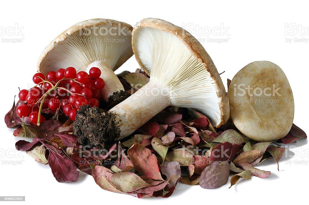 Milk mushroom. stock photo
