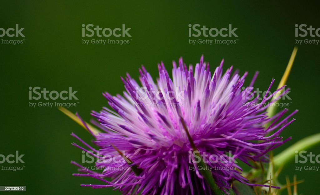 Milk thistle flower, silybum marianum stock photo